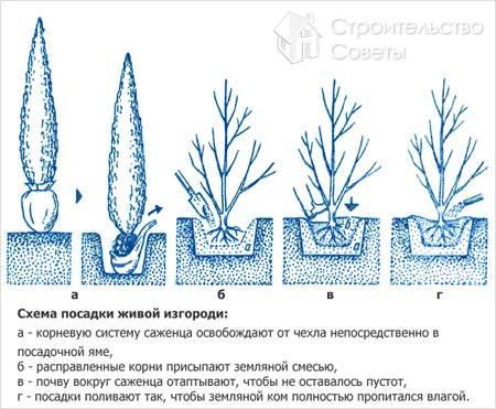 Посадка деревьев и кустарников, способы посадки деревьев и кустарников.
