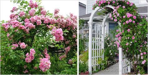 Цветники из вьющихся роз